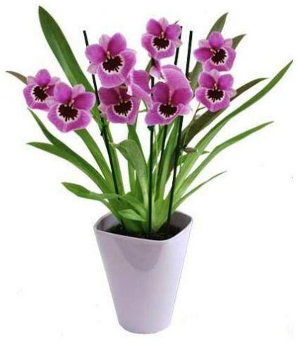 Цветок Мильтония