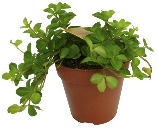 Тенелюбивые комнатные растения