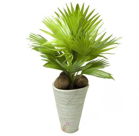 Пальма комнатная Ливистона