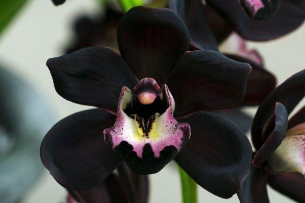 Орхидея Цимбидиум (черная) фото