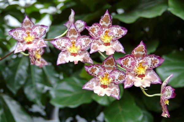 Орхидея Камбрия фото