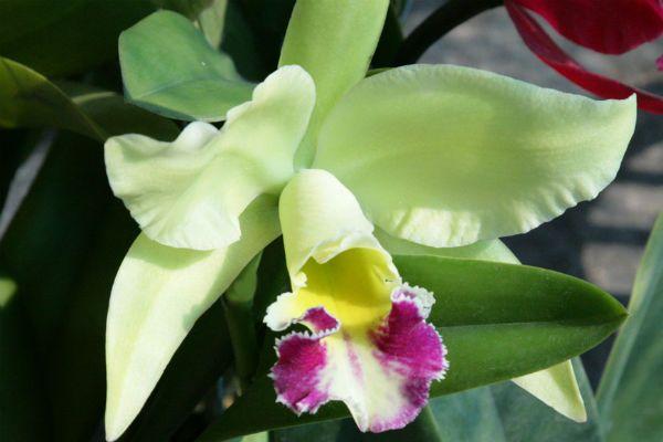 Орхидея Каттлея фото