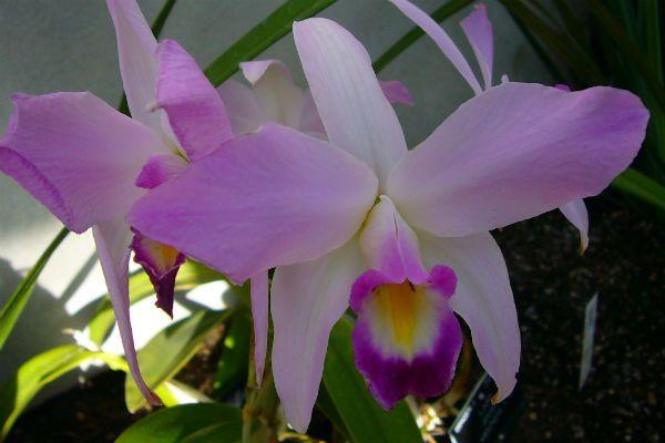 Орхидея Лелия фото