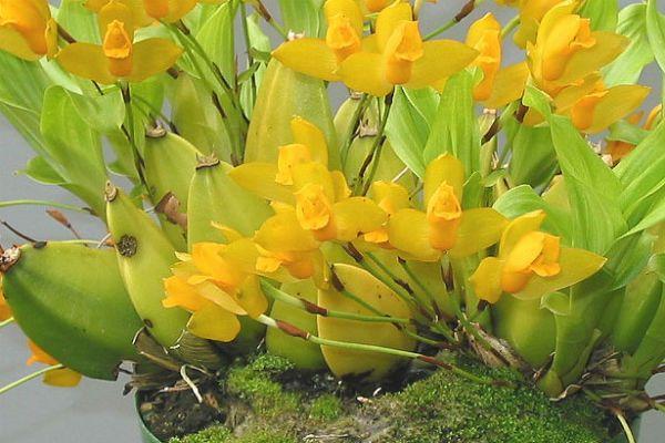 Орхидея Ликаста фото