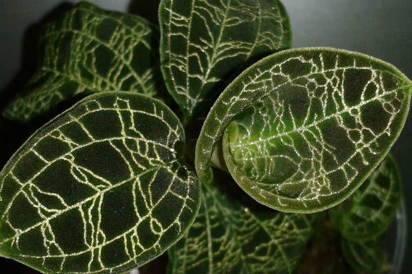 Орхидея Макодес фото