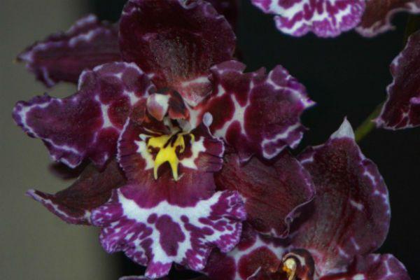 Орхидея Одонтоглоссум фото
