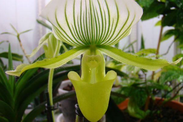 Орхидея Пафиопедилум (Башмачок) фото