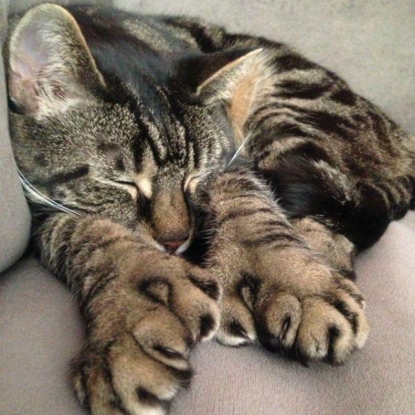 Американская многопалая кошка фото