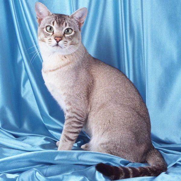 Азиатская дымчатая кошка фото