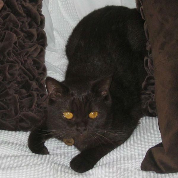 Йоркская шоколадная кошка фото