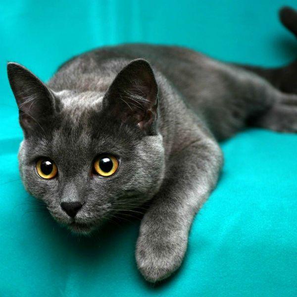 Корат кошка фото