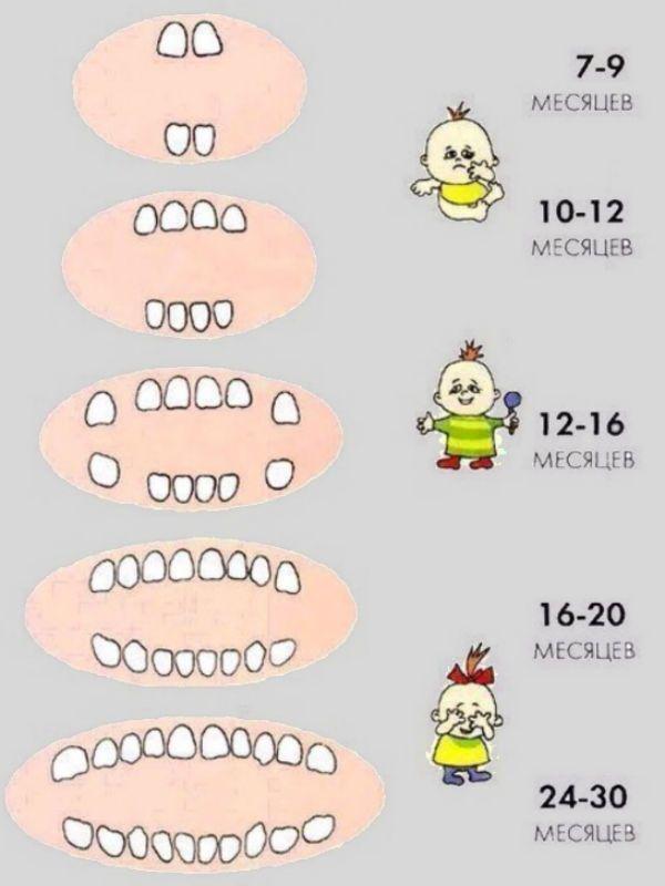 Схема появления зубов фото