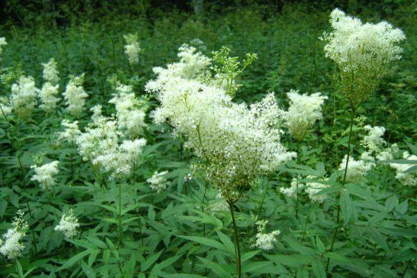 Квіти польові та лугові фото