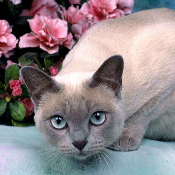 Тонкинская кошка фото