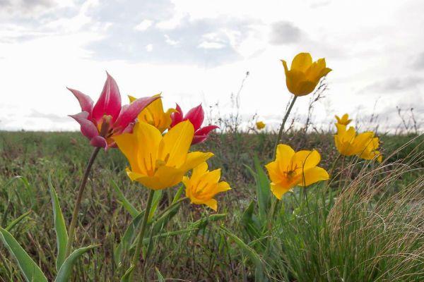 Тюльпан полевой фото