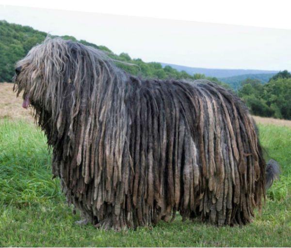Бергамская овчарка фото