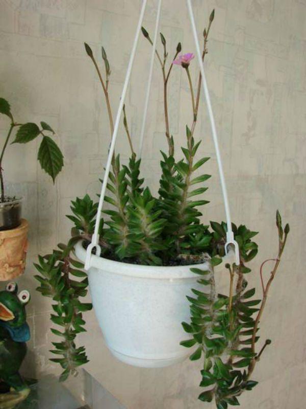 Растения суккуленты