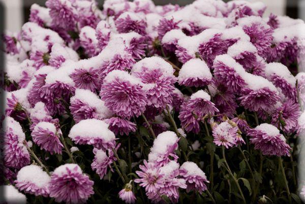 Астры под снегом фото