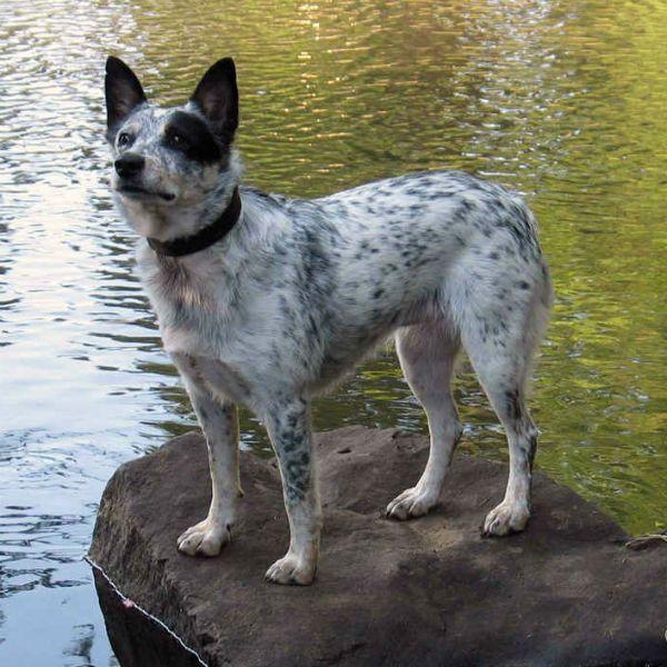 Австралийская пастушья собака фото