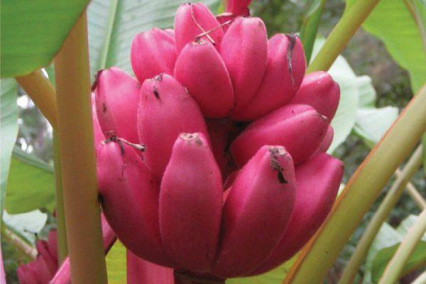 Банан розовый фото