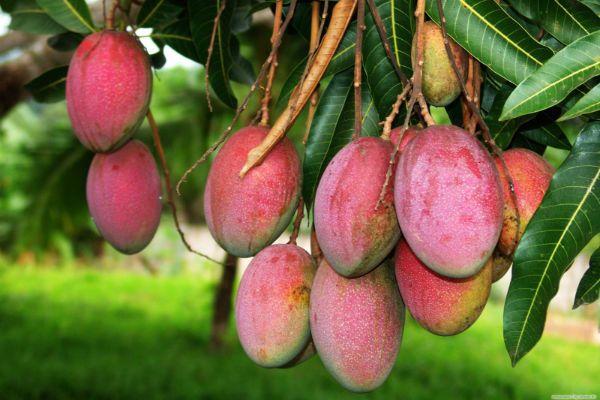 Имбе (Африканское манго) фото