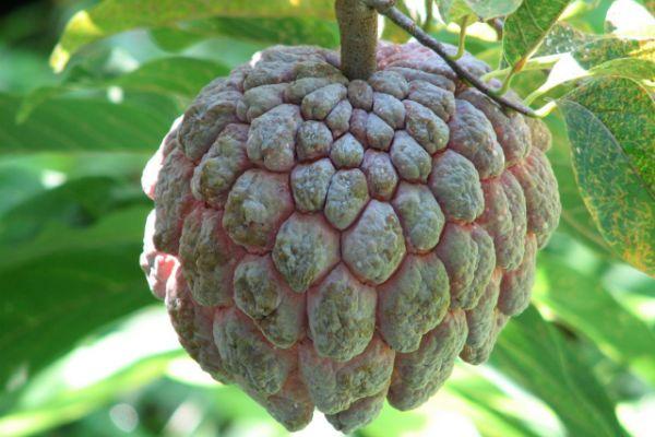 Нойна (сахарное яблоко) фото