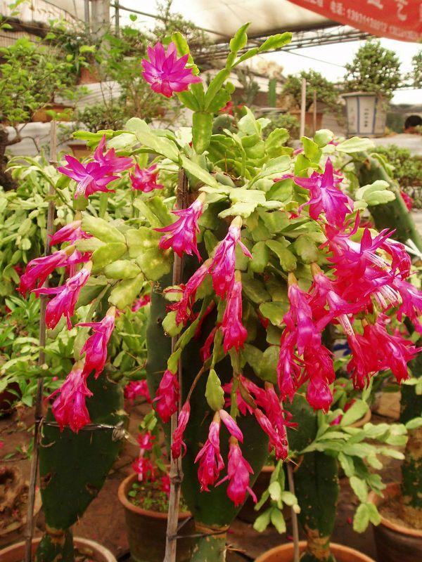 Цветущие кактусы