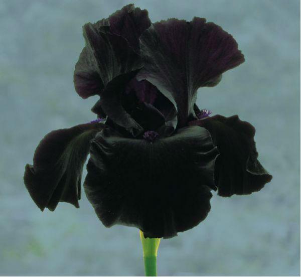 Черный ирис фото