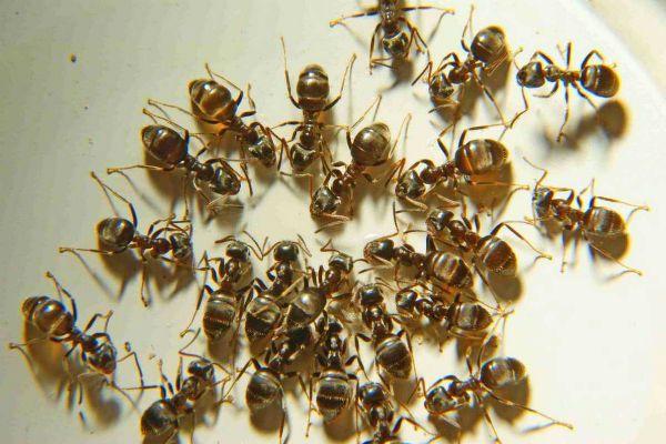 Домовые муравьи фото