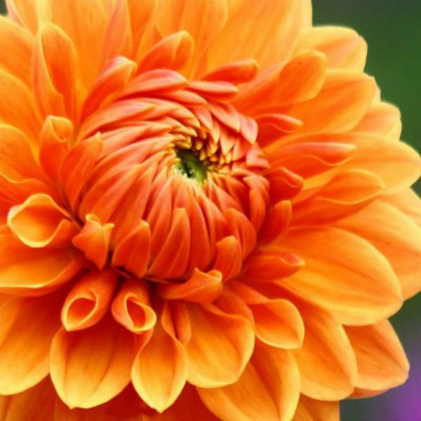 Оранжевый Сион фото