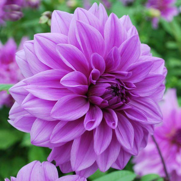 Сиреневое время (Lilac Time) фото