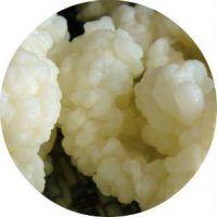 Кефирный гриб тибетский молочный гриб