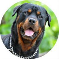Лучшие породы бойцовских собак с описанием (Фото)