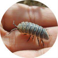 Мокрица фото насекомое