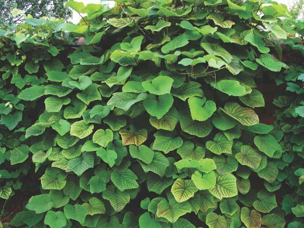 Куанье (японский виноград) фото