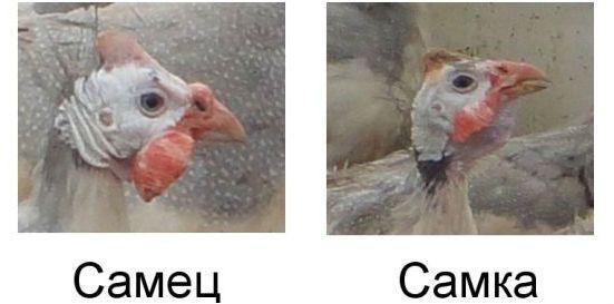 Как отличить самца цесарки от самки фото