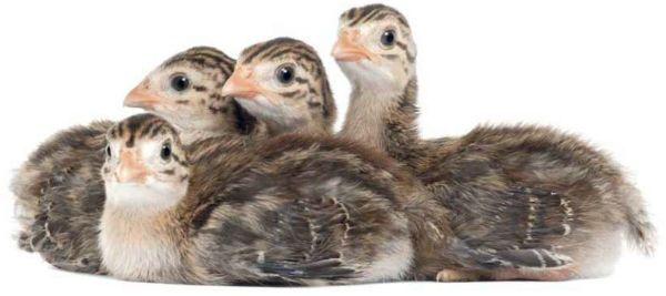 Птенцы цесарки фото