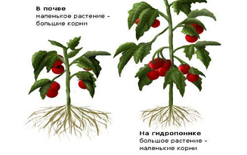 Сравнение гидропоники и почвы фото