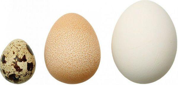 Яйцо цесарки в сравнении с куриным фото