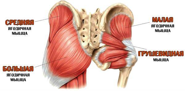 Анатомия грушевидной мышцы фото