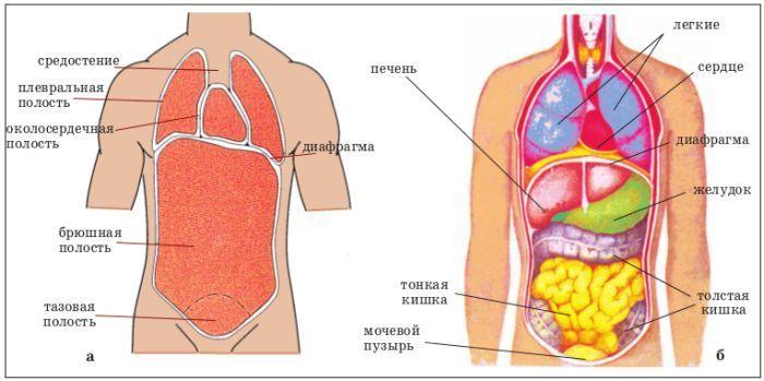 Полости тела фото