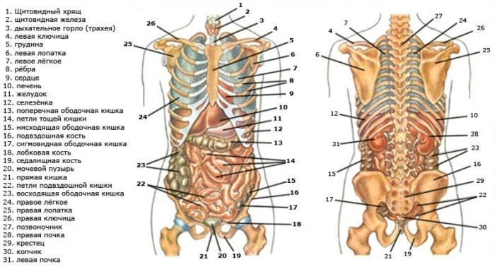 Органы спереди и сзади фото