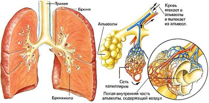 Бронхи и альвеолы фото