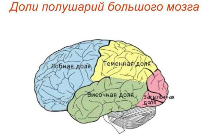 Доли мозга фото