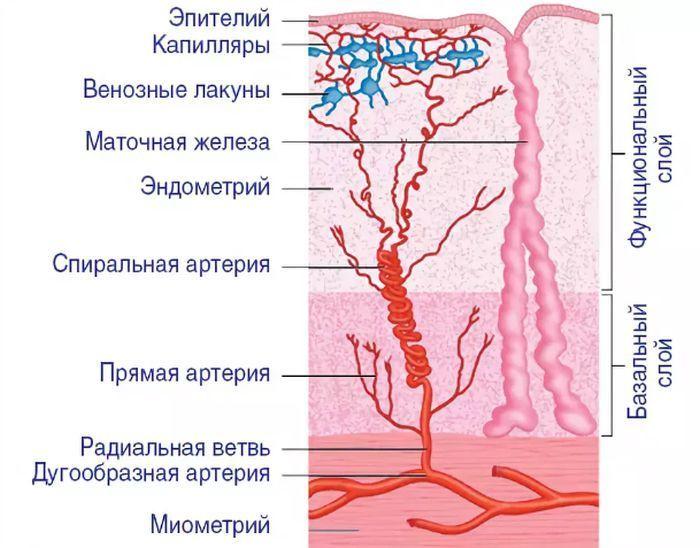 Эндометрий фото