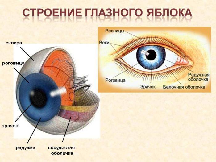 Строение глаза фото