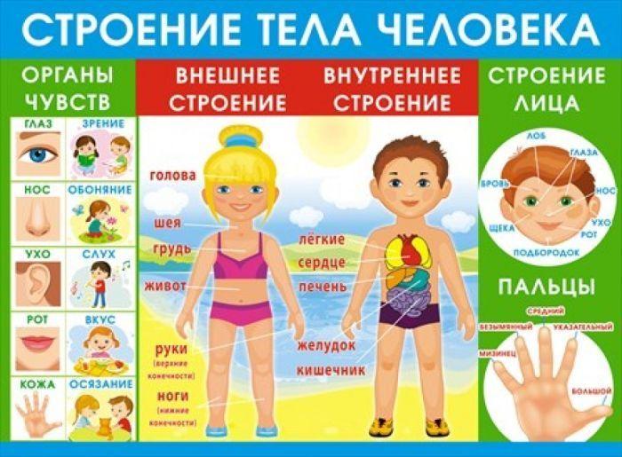 Строение человека для детей фото