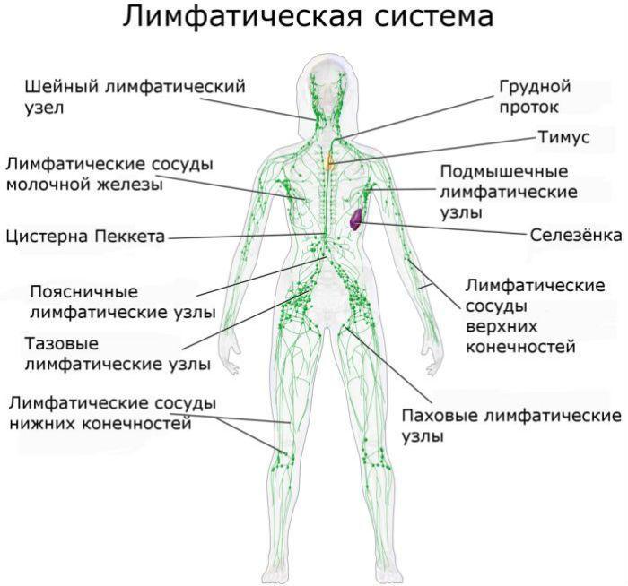Лимфатическая система фото