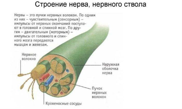 Строение нерва фото