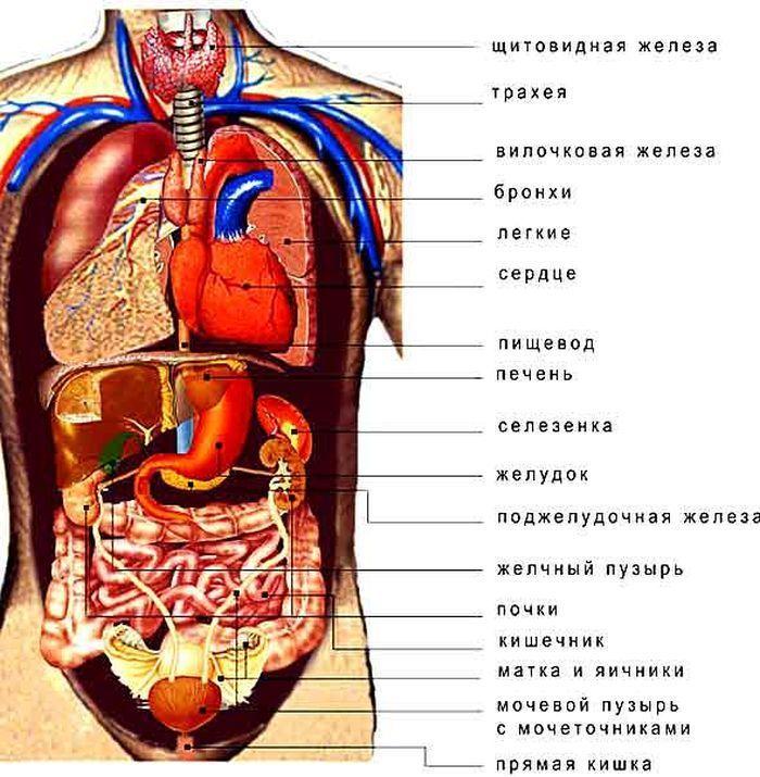 Органы слева фото